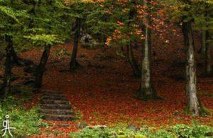جنگل راش-پاییزی