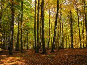 جنگل راش پاییزی 2
